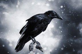 Raven595